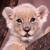 baby lion wallpapers free icon