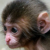 baby monkey live wallpaper icon