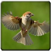 Suara Burung Gereja icon
