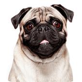 Talking Pug icon