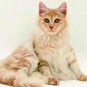 Wallpaper Kucing Lucu HD icono