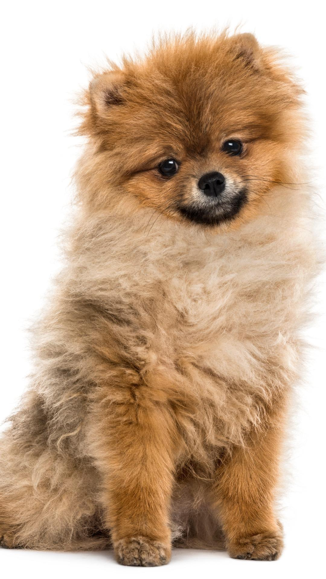Cute Pomeranian Wallpapers For Android Apk Download