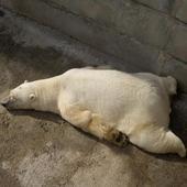 Polar Bears wallpaper icon