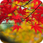 Maple Leaves Wallpaper icon