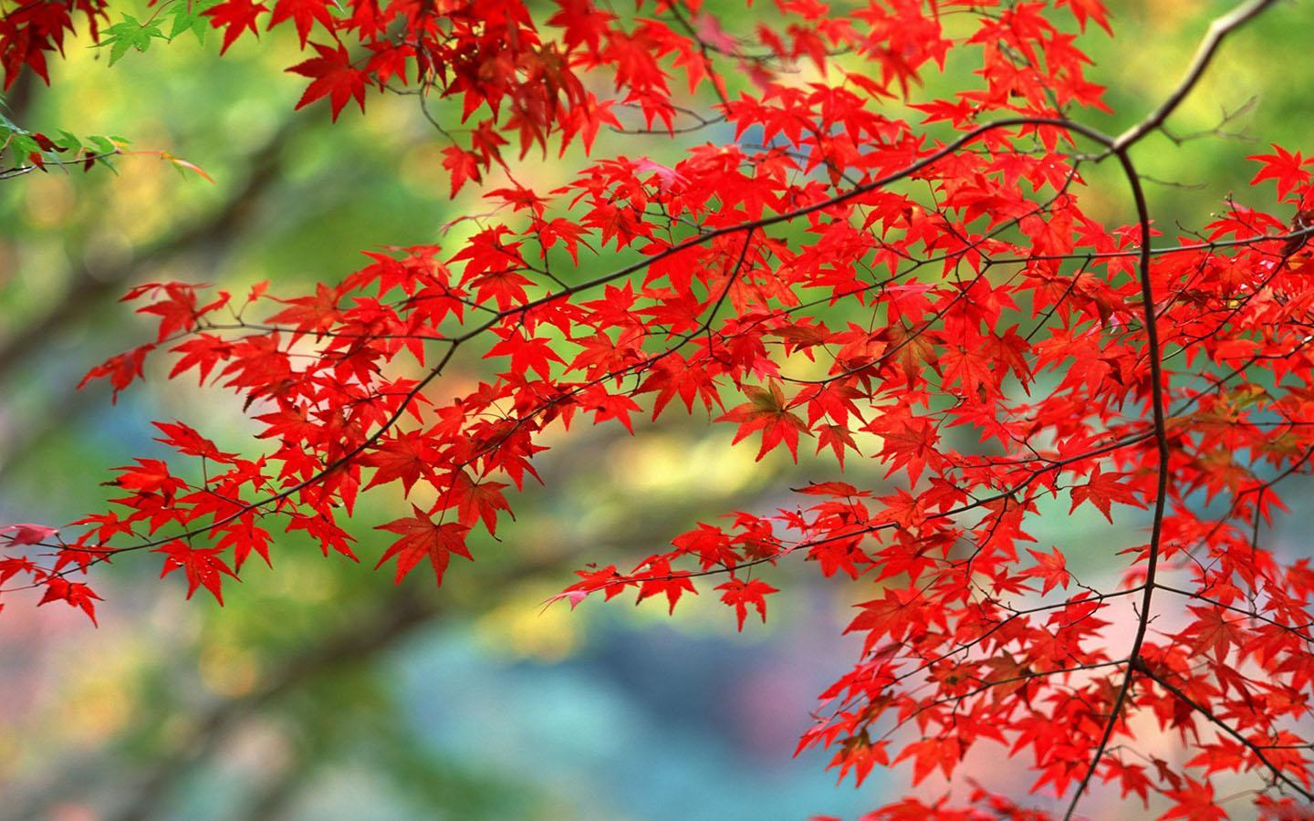 Maple Leaves Wallpaper For Android Apk Download