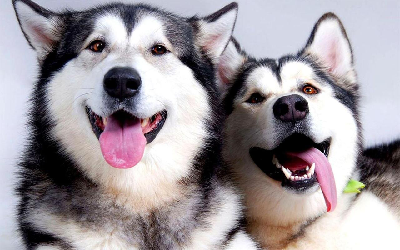 Husky Wallpapers HD for Android - APK Download
