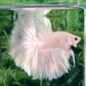 betta fish icon