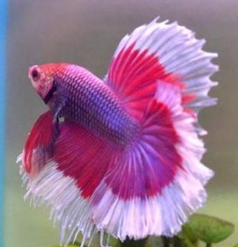 betta fish screenshot 11