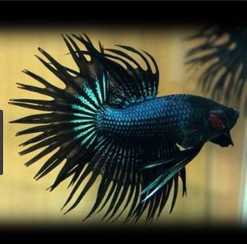 betta fish screenshot 1