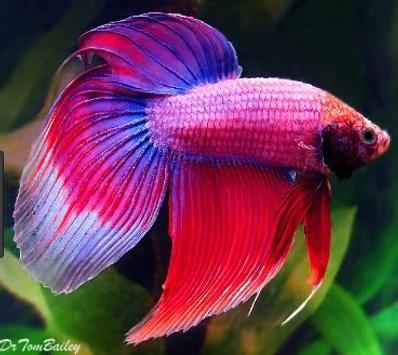 betta fish screenshot 5