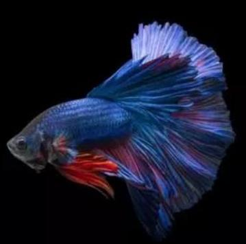 betta fish screenshot 9