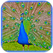 Peacock Sounds and Ringtones icon