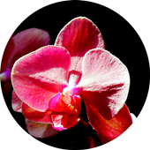 Orchidaceae Wallpapers icon