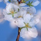 Sakura Cherry Blossoms LWP icon