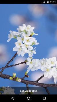 Sakura Cherry Blossoms LWP apk screenshot