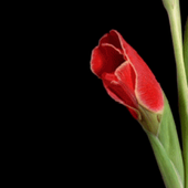 Animated Red Flower Live Wallp icon