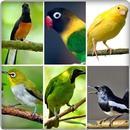 canto dos pássaros APK