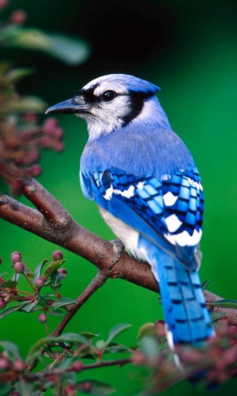 Cute Birds Wallpaper For Android Apk Download