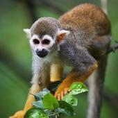 Squirrel Monkey Live Wallpaper icon