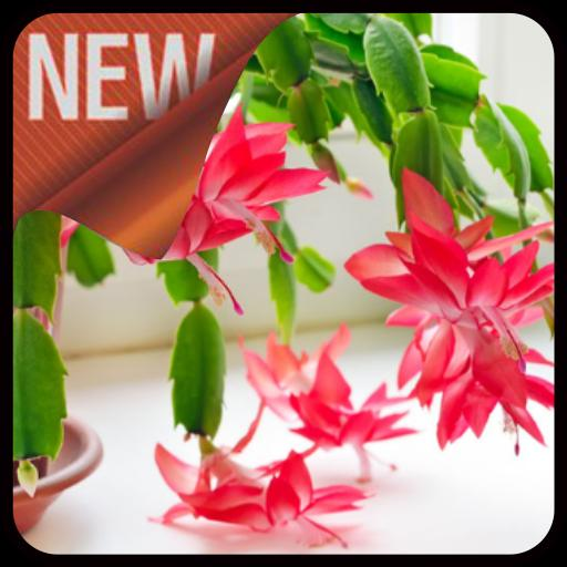 Caring For Christmas Cactus.Caring For Christmas Cactus For Android Apk Download