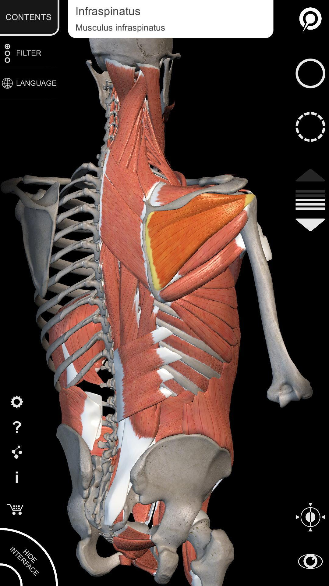 3d Muscle Anatomy