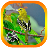 Kicau Pikatan  Burung Sirtu icon