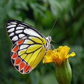 Butterfly Wallpapers HD icon