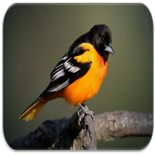 Oriole bird sounds icon
