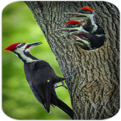 Woodpecker Bird Sounds icon