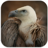 Vulture Sounds icon