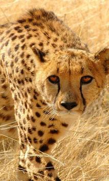 cheetah wallpapers poster
