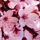 Lwp 桜の花 APK