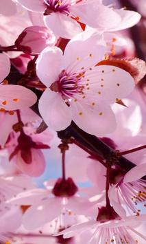 cherry blossom live wallapper poster