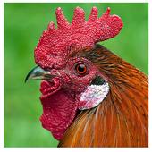 Chickens icon