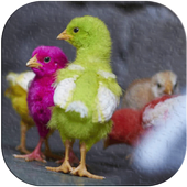 Chicks Wallpapers icon