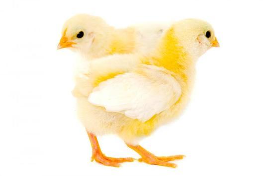 Chicks Wallpapers apk screenshot