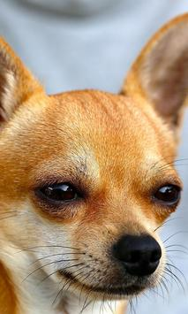 Chihuahua wallpaper for android apk download chihuahua wallpaper poster voltagebd Images