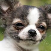 chihuahua puppies wallpaper icon