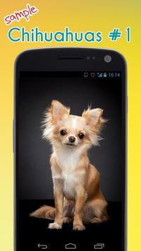 Cute Chihuahuas Wallpaper apk screenshot