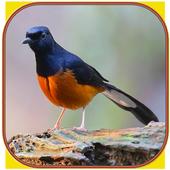 Kicau Burung Murai Batu icon