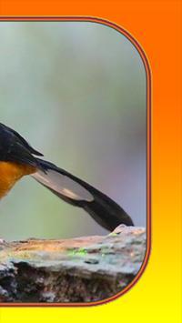 Kicau Burung Murai Batu screenshot 1