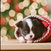 Christmas Dog Pictures icon