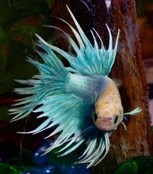 NEW BETTA FISH ( CUPANG ) IMAGE FAV screenshot 3