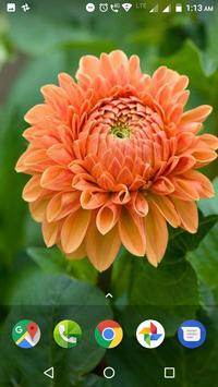 Dahlia Flower HD Wallpaper screenshot 5