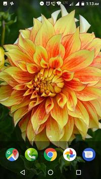 Dahlia Flower HD Wallpaper screenshot 7