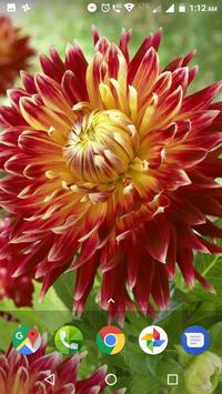 Dahlia Flower HD Wallpaper screenshot 11