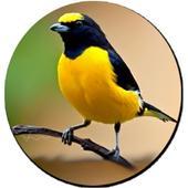 Kicau Burung Kenari Gratis icon