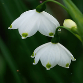 White Flowers Live Wallpaper icon