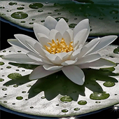 Beautiful Lotus Live Wallpaper icon