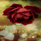 Beautiful Red Rose LWP icon